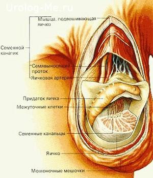 Строение яичка
